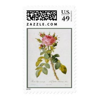 Impresión botánica color de rosa Rosa Bifera por   Envio