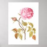 Impresión botánica color de rosa rosada del vintag poster