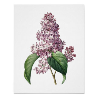 Impresión botánica de la original de la LILA por R Póster