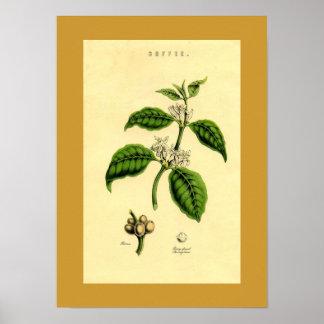 Impresión botánica de la planta antigua del café impresiones