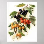 Impresión botánica de las cerezas