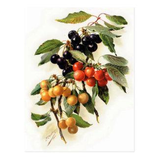 Impresión botánica de las cerezas postal