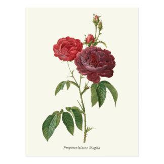Impresión botánica de los rosas rojos del vintage postal