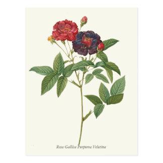 Impresión botánica de los rosas rojos y púrpuras postal