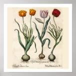 Impresión botánica de los tulipanes poster