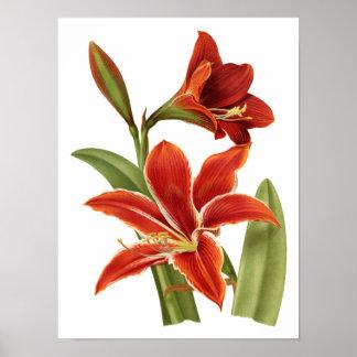 Impresión botánica del Amaryllis rojo Póster