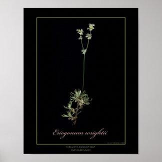 Impresión botánica del arte del alforfón de Wright Impresiones