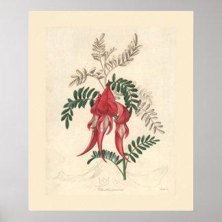 Impresión botánica del guisante de desierto de