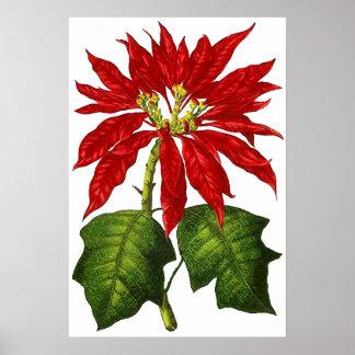 Impresión botánica del Poinsettia Impresiones