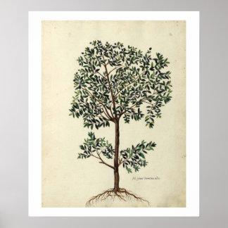 Impresión botánica del poster del olivo