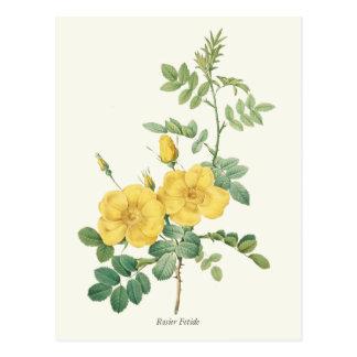Impresión botánica del rosa amarillo del vintage postal