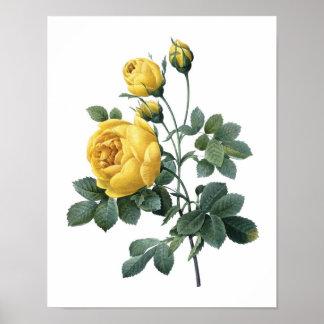 Impresión botánica del ROSA AMARILLO por Redoute Impresiones