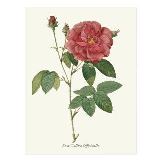 Impresión botánica del rosa rojo del vintage postal