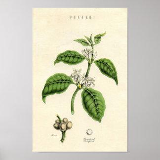Impresión botánica del vintage - café póster