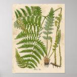 Impresión botánica del vintage - helecho/helechos póster