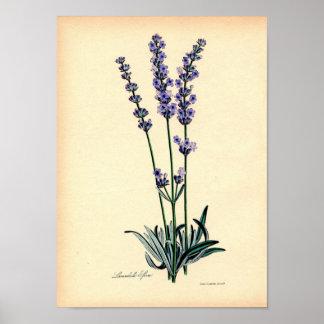 Impresión botánica del vintage - lavanda póster