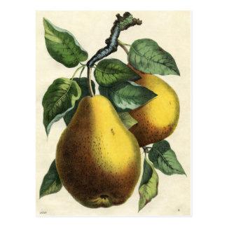 Impresión botánica del vintage - peras postales
