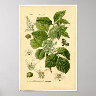 Impresión botánica - hiedra venenosa