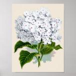Impresión botánica - Hydrangea blanco Póster