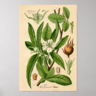 Impresión botánica - níspero (Mespilus Germanica)