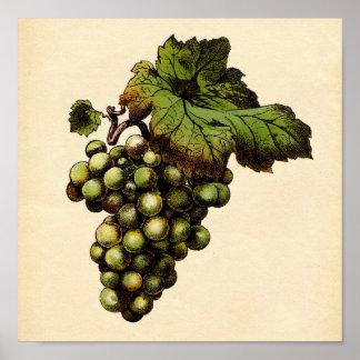 Impresión botánica - uva blanca póster