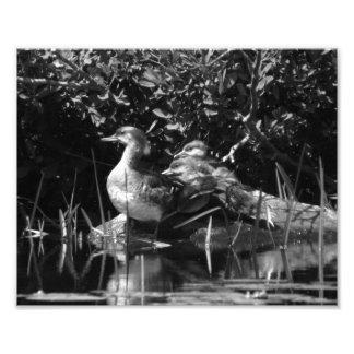 Impresión BW de la foto de los anadones Cojinete