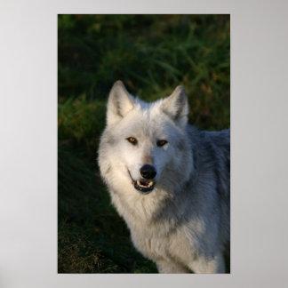 Impresión canadiense del lobo de madera impresiones