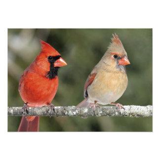 Impresión cardinal septentrional de la fotografía cojinete