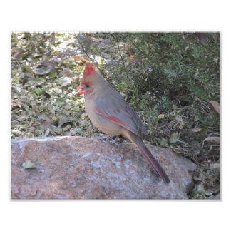 Impresión cardinal septentrional femenina de la cojinete