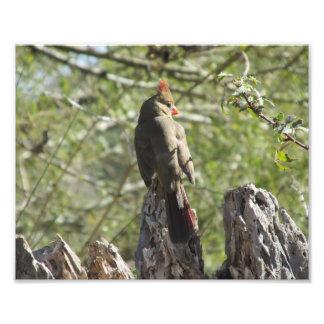 Impresión cardinal septentrional femenina de la fo cojinete