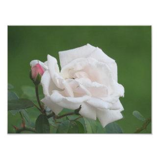 Impresión color de rosa rosada bonita del arte cojinete