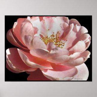 Impresión color de rosa rosada pasada de moda del  posters