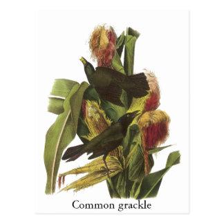 Impresión común de Juan Audubon Grackle Tarjeta Postal