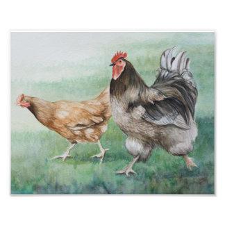 Impresión corriente de la foto del gallo y de la cojinete