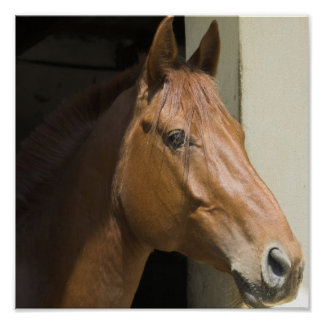 Impresión cuarta americana de la foto del caballo póster