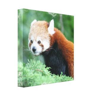 Impresión curiosa de la lona de la panda roja impresiones en lona estiradas