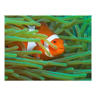 Impresión de Anemonefish del payaso Fotografía