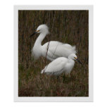 Impresión de dos Egrets Posters