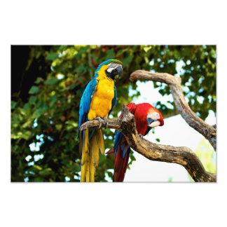 Impresión de dos Macaws Impresiones Fotográficas