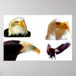 Impresión de Eagles calvo Poster