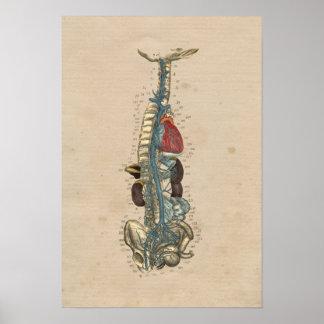 Impresión de la anatomía 1841 del corazón de las póster