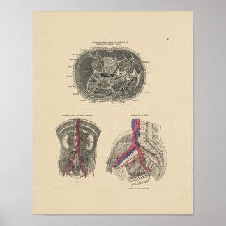 Impresión de la anatomía 1880 de la arteria del posters
