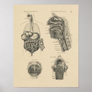 Impresión de la anatomía 1880 de la garganta de la póster