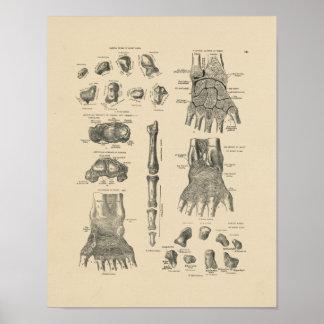 Impresión de la anatomía 1880 de la mano del póster