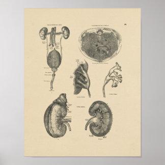 Impresión de la anatomía 1880 de la vejiga del póster
