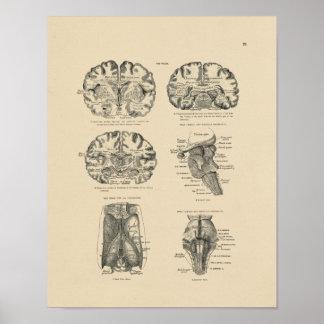 Impresión de la anatomía 1880 del cerebro humano posters