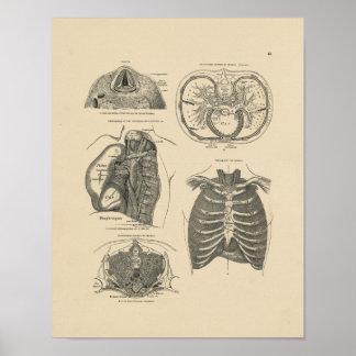 Impresión de la anatomía 1880 del corazón del póster
