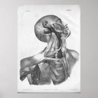 Impresión de la anatomía de las arterias de la cab posters