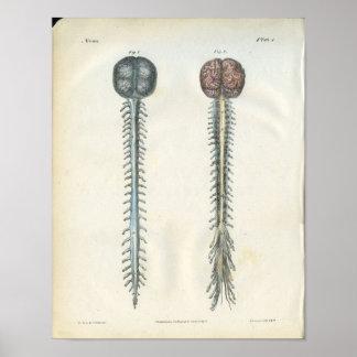 Impresión de la anatomía del cerebro y de la