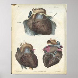 Impresión de la anatomía del corazón póster